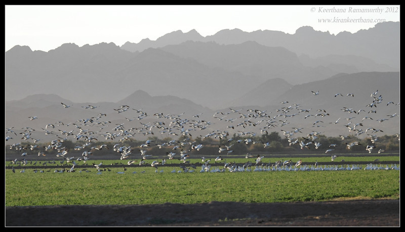 Snow Geese landing at Cibola National Wildlife Refuge, Arizona, November 2012