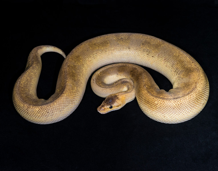 2013 Champagne Pastel Male, 922 grams, $175, hold for Joe R.