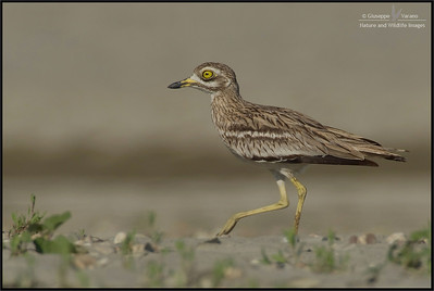 Stone Curlew - Occhione ( Burhinus oedicnemus ) - Lombardy's countryside - Italy