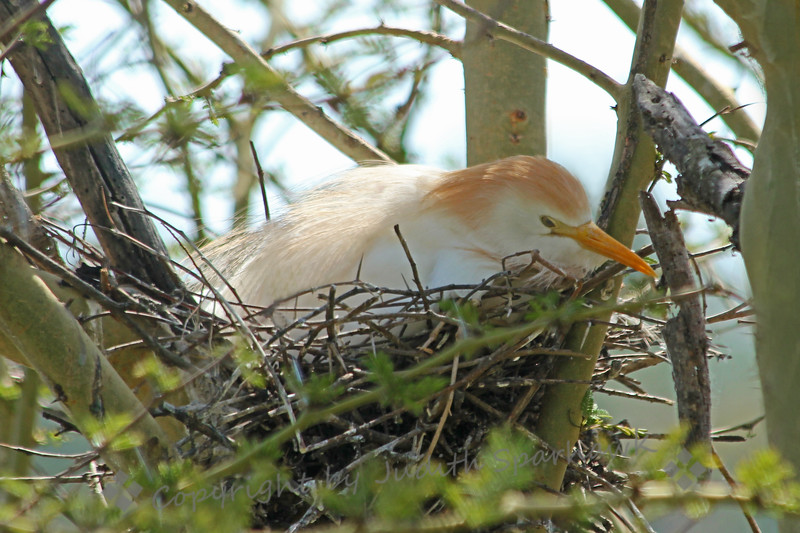 Lady in Waiting ~ This Cattle Egret was sitting on her nest, in a tree with many egret nests.  Her rusty plumage is only during breeding; otherwise she has all white feathers.