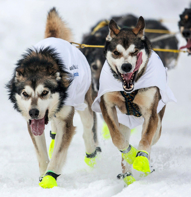 . The lead dogs of musher Brent Sass race down 4th Avenue at the ceremonial start to the Iditarod dog sled race in downtown Anchorage, Alaska March 2, 2013.  REUTERS/Nathaniel Wilder