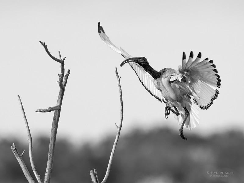 African Sacred Ibis, b&w, Intaka Island, Cape Town, Sept 2016-9.jpg