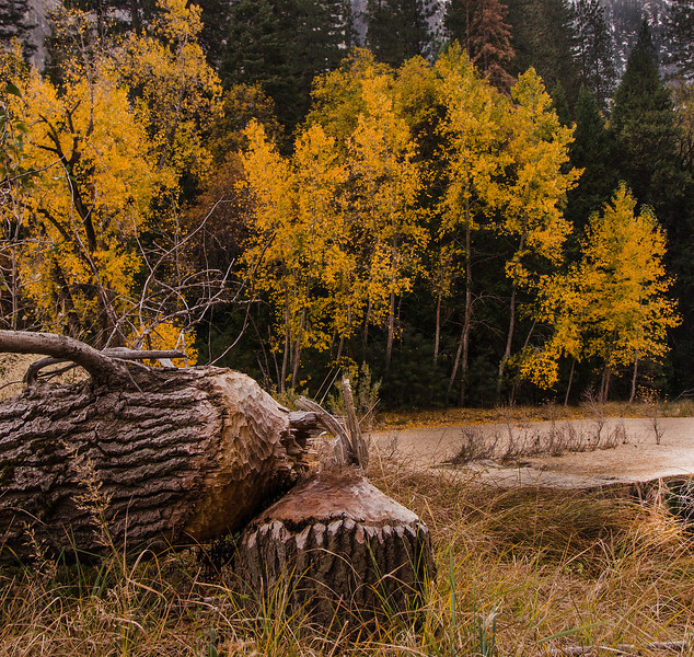 Beaver TreeJPG.jpg