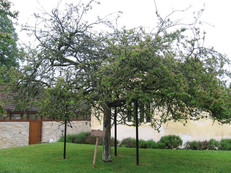 Thorn tree, Glastonbury Abbey