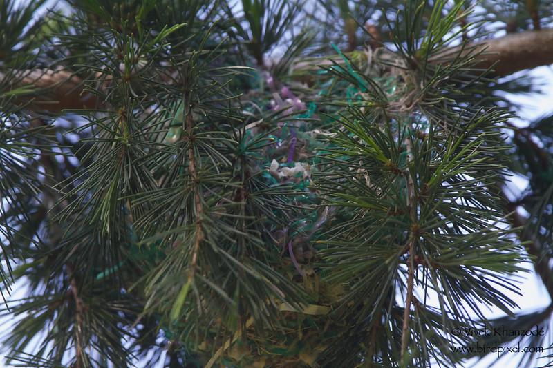 Oriole Nest - San Jose, CA, USA