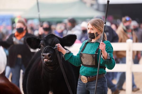 Shorthorn Plus Heifers