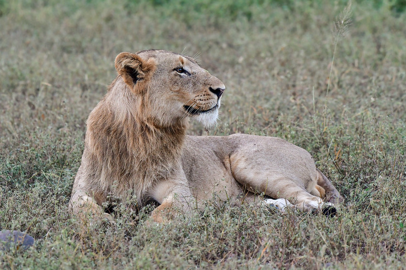 Young male lion laying on grass