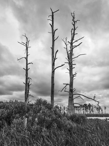 Dead Pine Trees - Blackwater National Wildlife Refuge