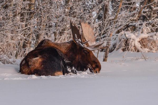 11 2013 Nov 18 Bull Moose - Quietude*^
