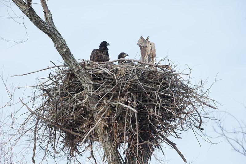 20130228-_G7Q9175cc lockwood eagle shoot.jpg