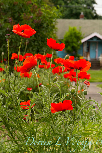 Papaver somniferum red poppy_027.jpg