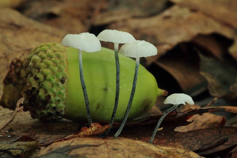 Pinwheel Marasmius w/ acorn- Grams Park