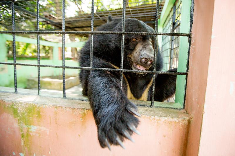 Asiatic black bear / moon bear / white-chested bear (Ursus thibetanus) in a zoo enclosure, Bangladesh
