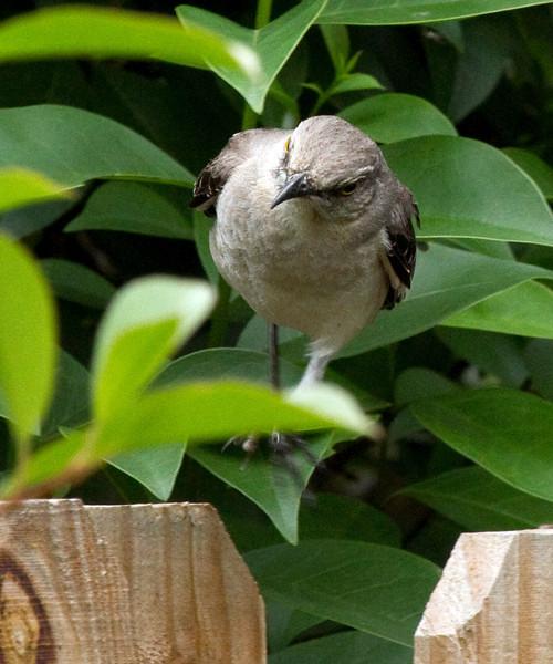 Mocking bird, Houston