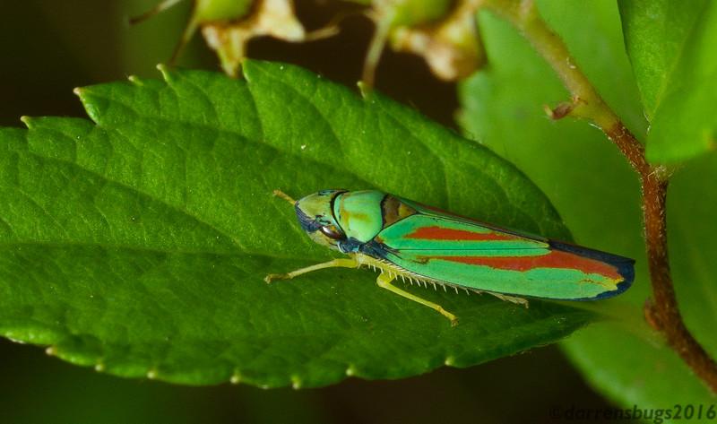 Sharpshooter leafhopper - Cicadellidae: genus Graphocephala, from Wisconsin, USA.