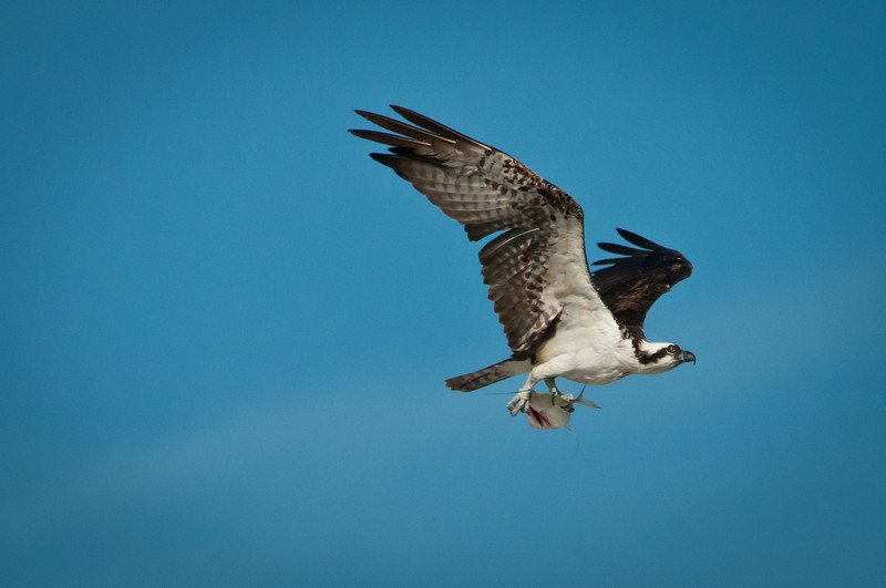More Osprey action!