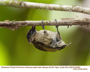 Olivacous Piculet M84284.jpg