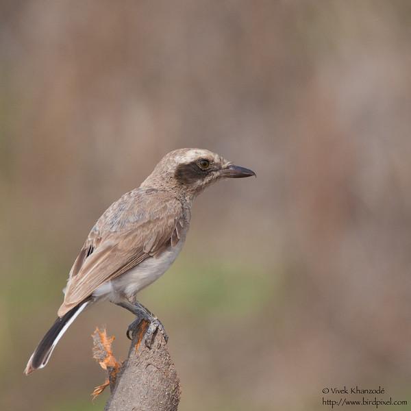 Common Woodshrike - Kutch, Gujrat, India