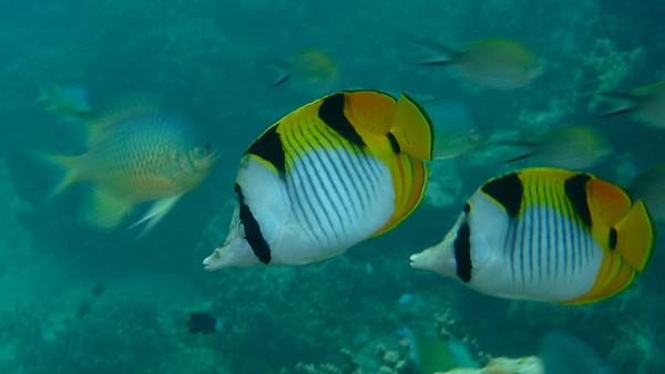 Saddleback Butterflyfish, Chaetodon falcula