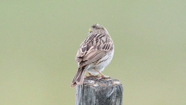 6-20-16 Video Savannah Sparrow