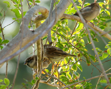 Simply Sparrows on 100209