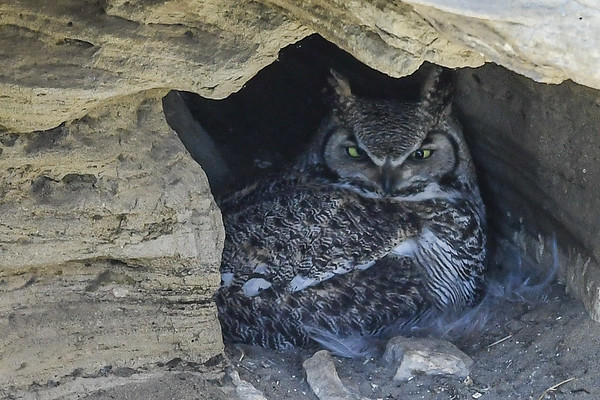 4-20-16 Great Horned Owl  - Cave Nest