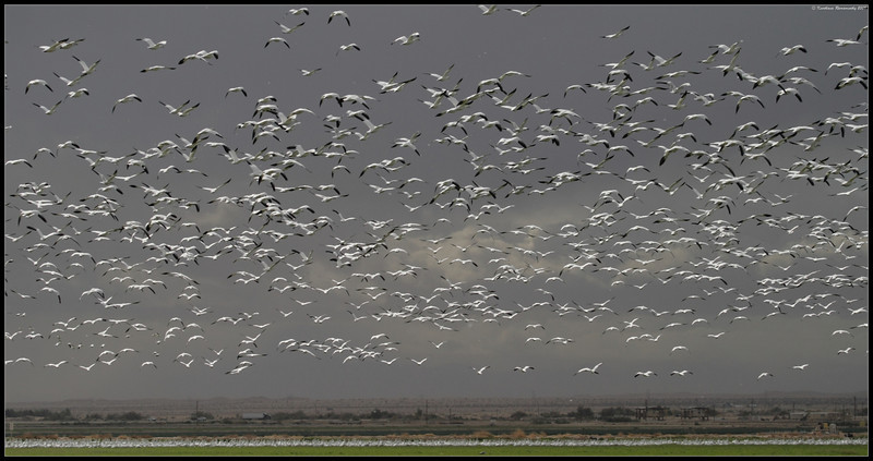 Snow Geese, near Unit 1, Salton Sea, Imperial County, California, November 2009