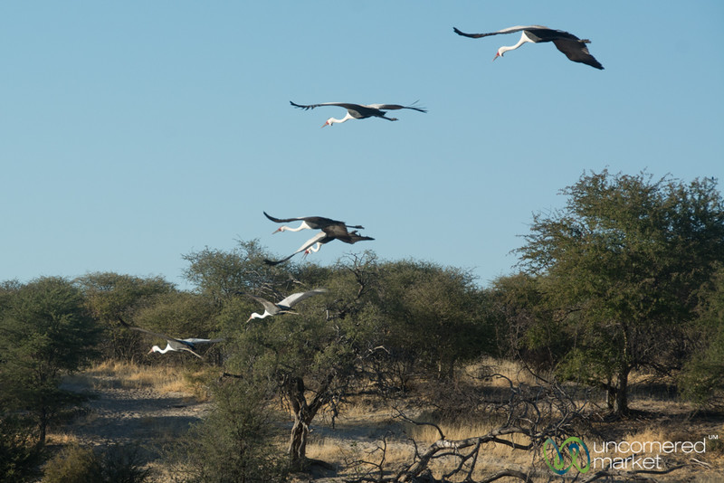 Wattled Cranes Flying - Leroo La Tau, Botswana