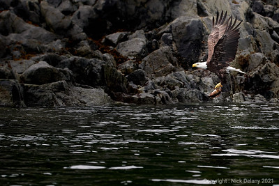 Bald Eagle bringing dinner home