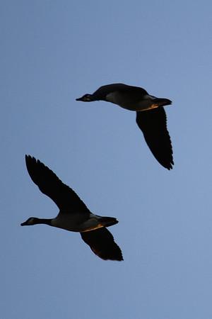 Buzzard, geese at Rutland Water, 24 September 2014