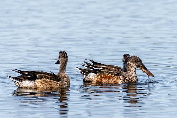 Ducks Swans & Geese