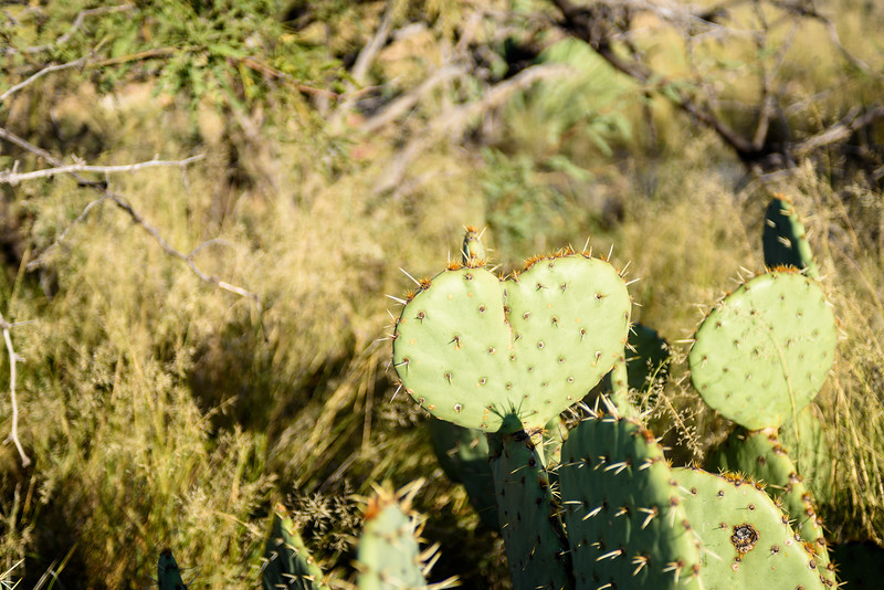 """Heart"" of prickly pear"