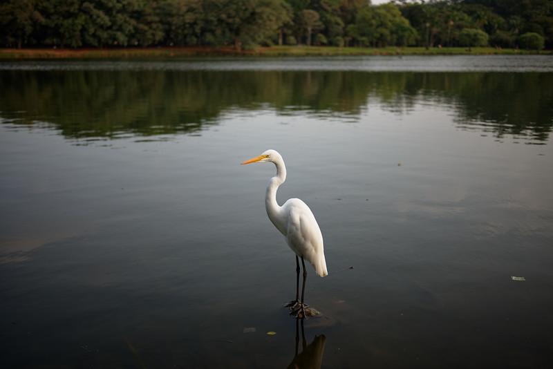 Une aigrette /Parc d'Ibirapuera