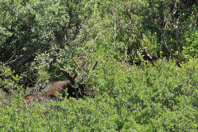 A moose that refused to stand for a better photo opportunity