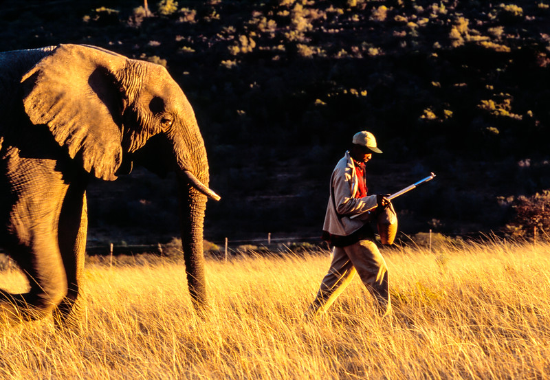 Zimbabwe guide leads an elephant walking safari.