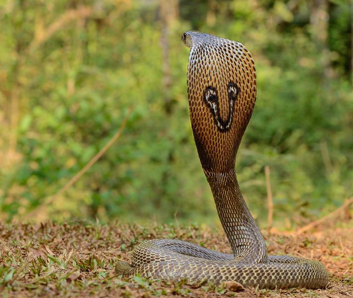 Spectacled-Cobra-Agumbe2.jpg