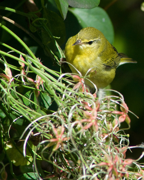 Tennessee Warbler  Fall plumage, Dyke Marsh