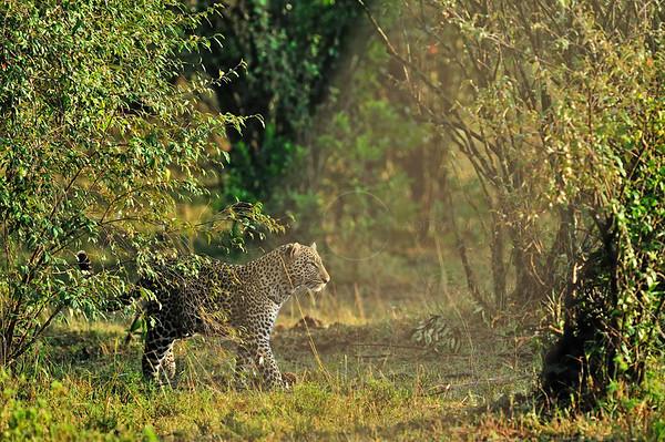"""""""leopard in masai mara"""""""