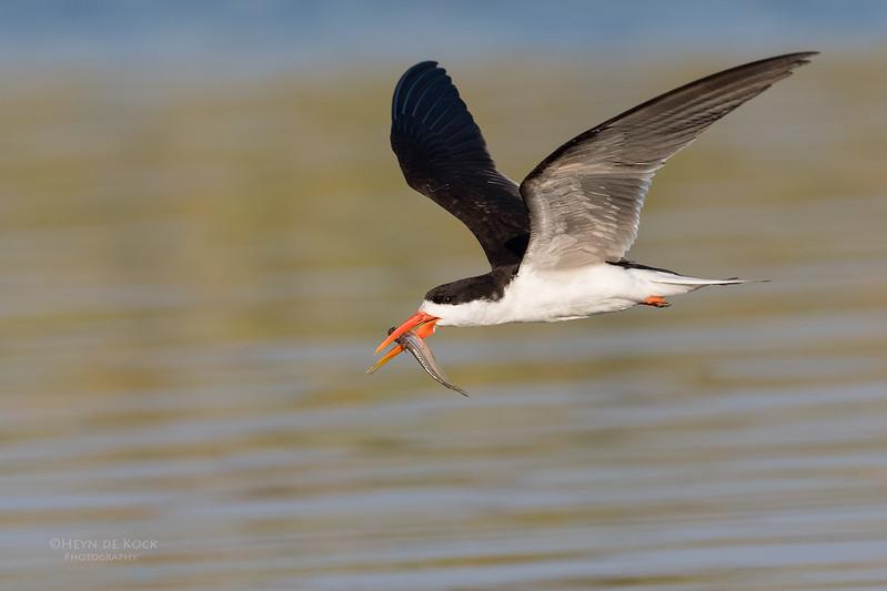 African Skimmer, Chobe River, NAM, Oct 2016-28.jpg