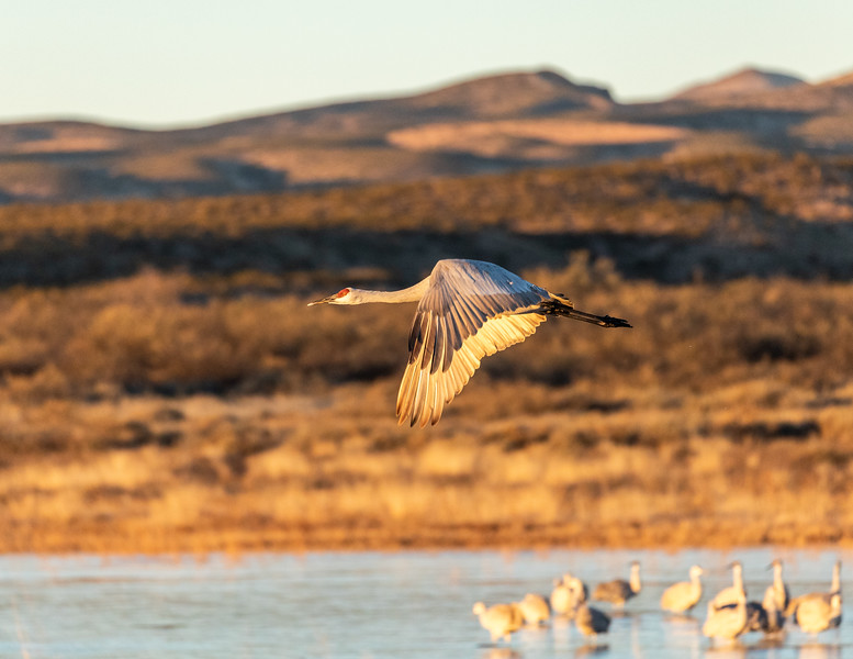 A Greater sandhill cranes (Antigone canadensis) in early morning flight.  Bosque del Apache National Wildlife Refuge in the mid Rio Grande Valley. San Antonio, New Mexico.  This subspecies is the largest of all sandhill cranes standing up to four feet tall with a wing span greater than six feet .