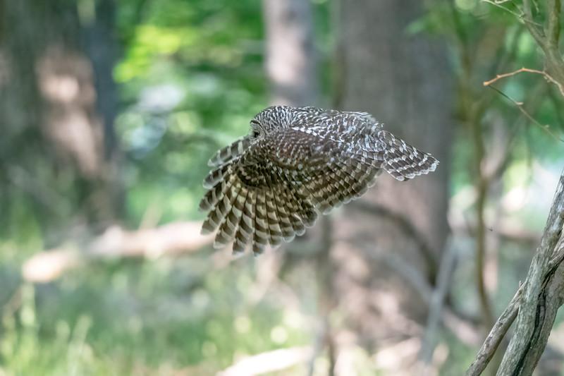 #1633 Barred Owl