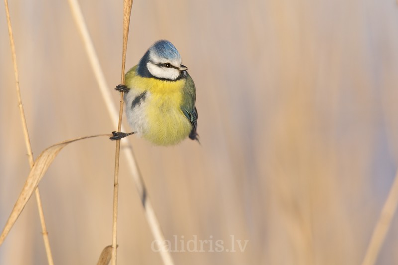 Blue Tit on a reed