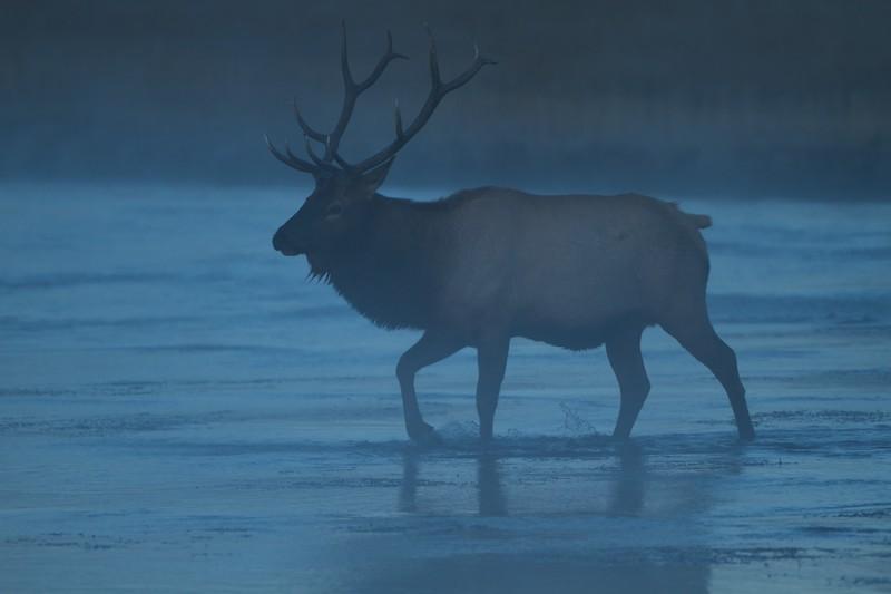Elk bull crossing river Lower Geyser Basin Fountain Flat Dr. Yellowstone N.P. WY IMG_0069336.jpg
