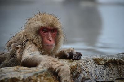 Snow monkey park and Yudanaka