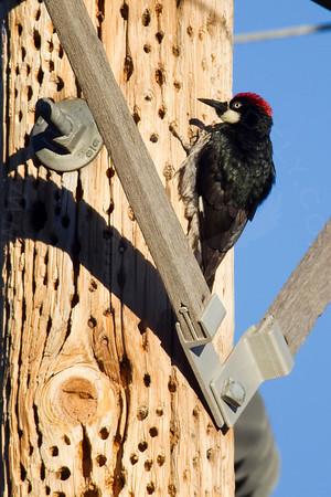 Woodpecker, Acorn