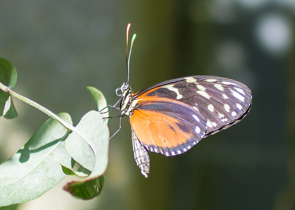 Daniellas butterflies