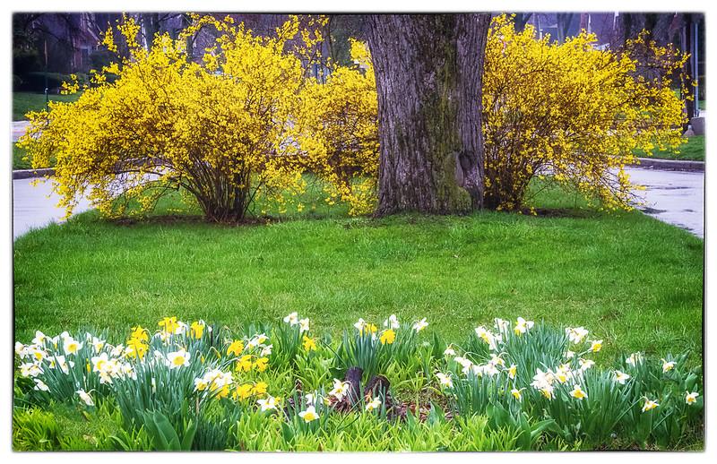 Spring Forsythia and Daffodil