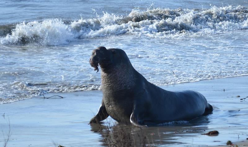 ano-nuevo-elephant-seals-2013 20.jpg