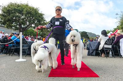 Parade -standard poodles #319 - #678