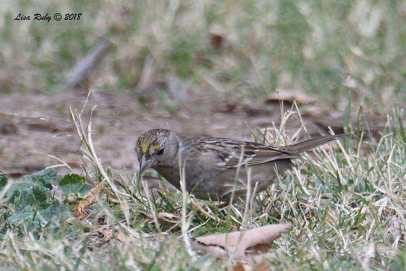 Golden-crowned Sparrow  - 1/7/2018 - Dos Picos County Park